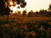 Sunflower. Field on the affternoon Royalty Free Stock Images