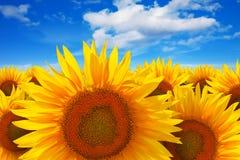 Sunflower field against blue sky Stock Photo