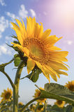 Sunflower in the field Stock Photos