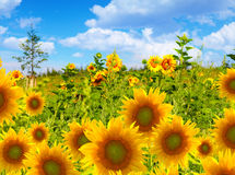 Sunflower field against blue sky Royalty Free Stock Photos