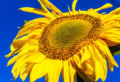 Sunflower on a field against blue sky Stock Images