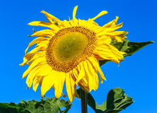 Sunflower on a field against blue sky Stock Image