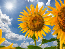 Sunflower field against blue sky and sun light Stock Image