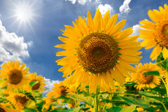 Sunflower field against blue sky and sun light Stock Photos