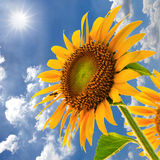 Sunflower field against blue sky and sun light Royalty Free Stock Image