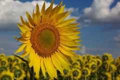 Sunflower in the field against the blue sky Royalty Free Stock Photos