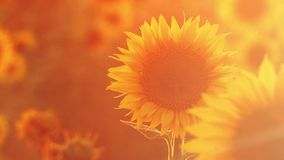 Sunflower field against the setting sun stock video footage