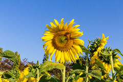 Sunflower and field against a sky Stock Image