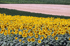 Sunflower field agriculture Royalty Free Stock Images