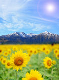 Sunflower Field alps Royalty Free Stock Photos