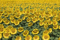 Sunflower field. Amazing and beautiful sunflower field in the warm summer day stock image