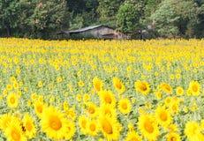 Sunflower field around the old gardener house. stock image