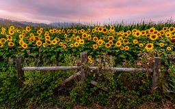 Free Sunflower Field At Sunset, Northern California, USA Stock Photography - 125595232
