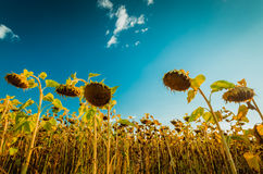 Sunflower field at August under blue sky. Sunflowers at the field in late summer Royalty Free Stock Images