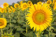 Sunflower field background Royalty Free Stock Photography