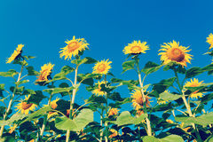 Sunflower field on background blue sky Royalty Free Stock Image