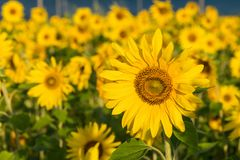 Sunflower field background Stock Images