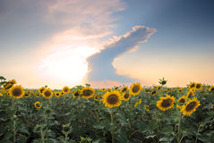Sunflower field on a background of stormy clouds. At sunset Royalty Free Stock Photography