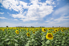Sunflower field background under blue sky Royalty Free Stock Photography