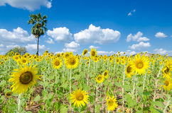 Sunflower  field background . Royalty Free Stock Photography