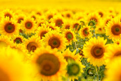 Sunflower field, backlit, close-up. Stock Images