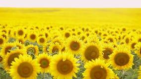 Sunflower field, backlit. closeup stock footage