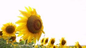 Sunflower field, backlit. closeup stock video
