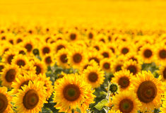Sunflower field, backlit. Royalty Free Stock Images