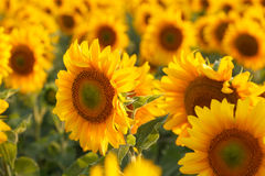 Sunflower field, backlit. Royalty Free Stock Photography