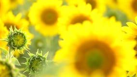 Sunflower field, backlit. stock video footage