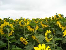 The sunflower field. In the background of the gloomy sky royalty free stock photo