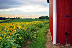 Sunflower Field & Barn Royalty Free Stock Photography
