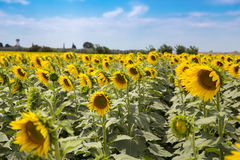 Sunflower field. With a beautiful blue sky Stock Photo