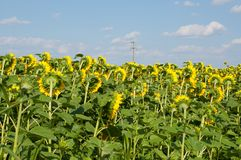 Sunflower field and beautiful blue sky.Sunflower natural background. Beauty, rural, season, sunny, floral, plant, crop, yellow, bright, summer, agriculture royalty free stock image