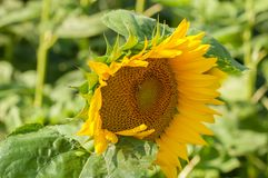 Sunflower field and beautiful blue sky.Sunflower natural background. Beauty, rural, season, sunny, floral, plant, crop, yellow, bright, summer, agriculture royalty free stock photos