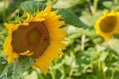 Sunflower field and beautiful blue sky.Sunflower natural background. Beauty, rural, season, sunny, floral, plant, crop, yellow, bright, summer, agriculture stock photography