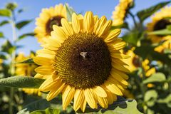 Sunflower in a sunflower field