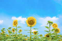Sunflower field with beautiful sky. Stock Photo
