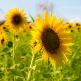 Sunflower in a field Stock Photos