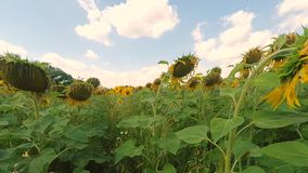 Sunflower field stock video