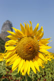 Sunflower in the field. Beautiful sunflowers bathing in sunlight stock photography
