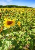 Sunflower field. Beautiful field of sunflowers in Northerh Michigan in summer Stock Photo
