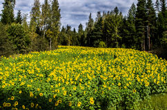 Sunflower field. Beautiful field of sunflowers in town Putkilahti, Finland Stock Photos