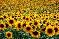Sunflower field. Beautiful Sunflower field at sunset Stock Image