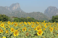 Sunflower field. Beautiful sunflower to sunlight and Will bloom during November To December of each year Royalty Free Stock Photo