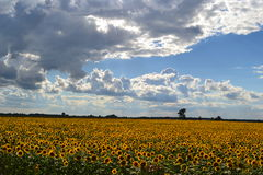 The sunflower field Royalty Free Stock Photo