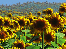 Sunflower Field. A field of beautiful yellow sunflowers landscape! Bright and beautiful sunny sunflowers to bring light and joy to your home Royalty Free Stock Photos