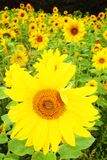 Sunflower field bee. Sunflower field. bright yellow flower with bee in centre. late summer sun Stock Photos