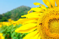 Sunflower field with Bee Stock Photos