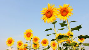 Sunflower field, bee on sunflower stock footage